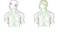 Maps of the lymphatic system.  Right image shows updated system after UVA's  discovery. Credit: University of Virginia  Health System